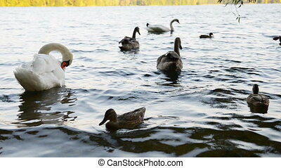 Wild white swans swimming on lake - Wild white swans alone...
