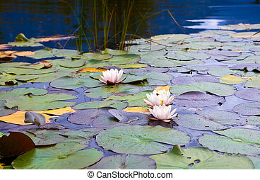 wild white water lily on pond