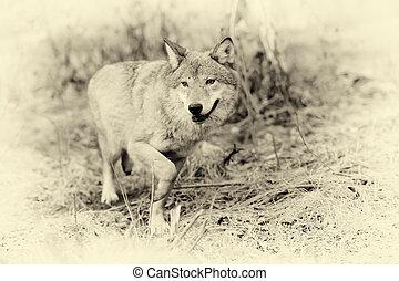 Wild wolf in forest. Vintage effect