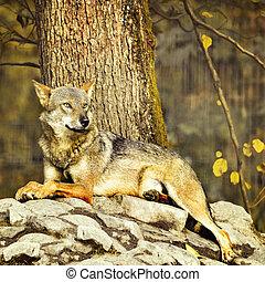 Wild wolf on the stones.