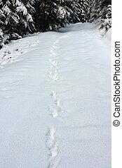 wild wolf tracks in big snow