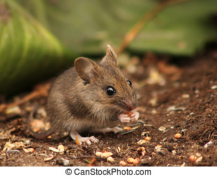 Wild wood mouse eating in natural environment