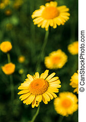 Wild yellow daisies in the summer field are blooming