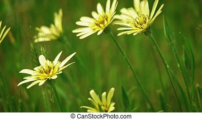 Wild yellow flowers fluttering on wind slomo - Wild yellow...