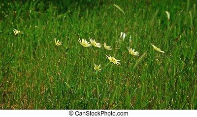 Wild yellow flowers shuttering on wind in the grass field ...