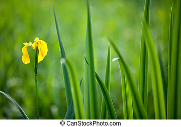 yellow iris wildflower with leaves in swamp land