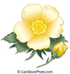 Old fashioned wild prairie yellow rose, bud, (Rosa rugosa). Isolated on white background. EPS8 compatible.