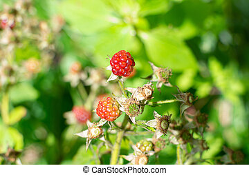 Wild young bramble, blackberry grow in Sokolniki park, Moscow