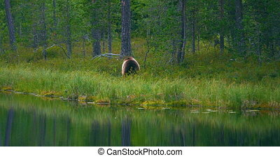 Wild young brown bear walking in the forest looking for food...