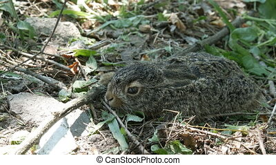 Wild young hare sits in the grass in forest - Wild young...