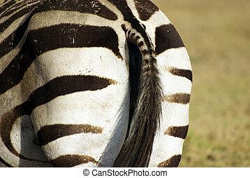 Wild zebra rear