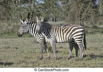 Wild zebras in Africa.