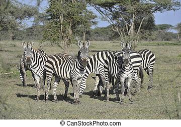 Wild zebras in Africa. Serengeti.