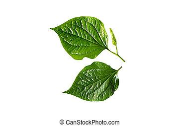 Wildbetal Leafbush (Piper sarmentosum) isolated on white