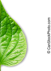 Wildbetal Leafbush (Piper sarmentosum Roxb.) concept Herbal ...