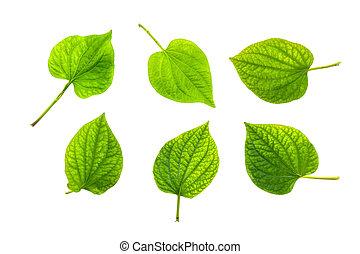 Wildbetal Leafbush (Piper sarmentosum Roxb.) Herbal and ...