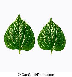 Wildbetal Leafbush (Piper sarmentosum Roxb.) Herbal food and...