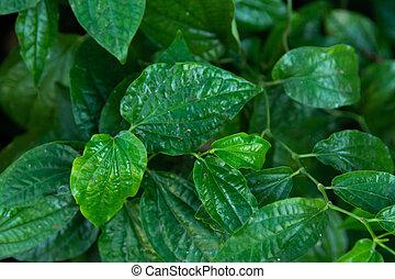 Wildbetal Leafbush (Piper sarmentosum Roxb) leaves green ...
