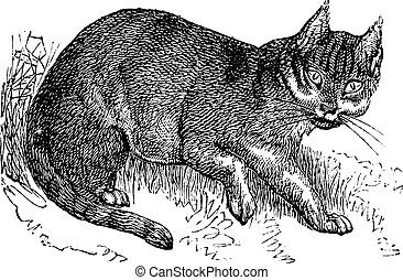 Wildcat vintage engraving