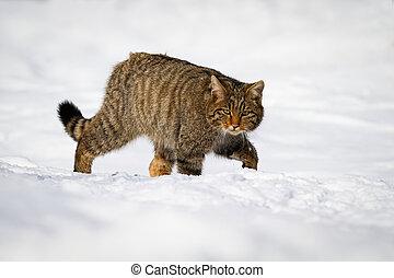 wildcat, zima, venkov, pohybovaní se s obtíží, skrz, sněžit, evropský