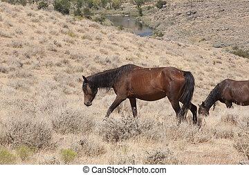wilde paarden, in, nevada