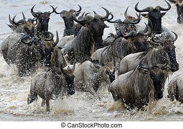 wildebeest, átkelés, a, mara, river.