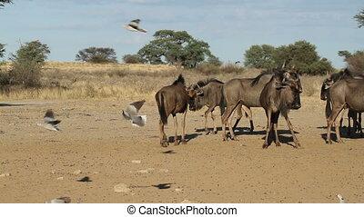 wildebeest and flying doves - Blue wildebeest (Connochaetes...