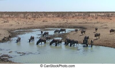 Wildebeest at a Waterhole in Etosha, Namibia