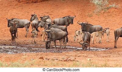 Wildebeest at waterhole - Blue wildebeest (Connochaetes...