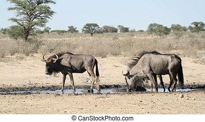 Wildebeest drinking - Blue wildebeest (Connochaetes...