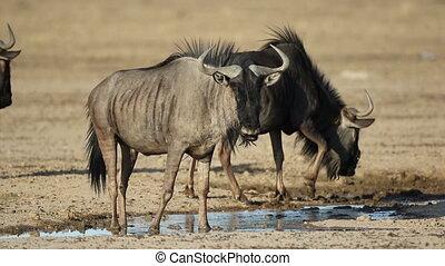 Wildebeest drinking water - Blue wildebeest (Connochaetes...