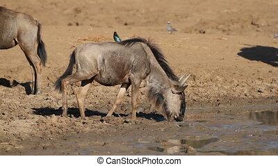 Wildebeest drinking water