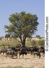 wildebeest, ebédidő