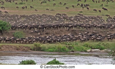 Wildebeest gathered on Mara river edge before crossing during their annual Migration