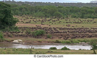 Wildebeest gathered on Mara river edge before crossing...