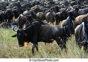 Wildebeest herb.
