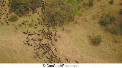 Wildebeest Herd Aerial View. Animals in Migration in Savanna of Tanzania, Africa