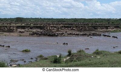 Wildebeest herd crossing the Mara - Wildebeest ( Conneathus...