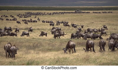 Wildebeest Herd in Migration Eating Grass in African Savannah, Tanzania,