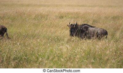 Wildebeest Herd Running in Order in Grassland of African Savanna Slow Motion