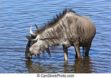 Wildebeest in a waterhole - Namibia