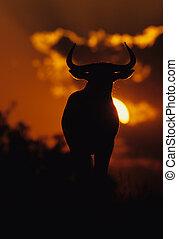 Wildebeest in Sunset