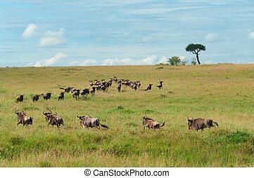wildebeest, költözés, maasai, mara, kenya