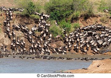 wildebeest, költözés
