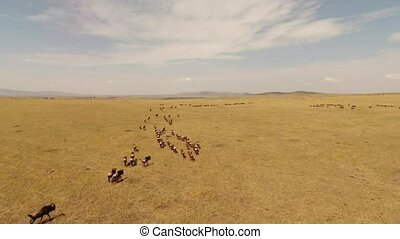 Wildebeest Mass For Mara River Cros