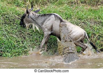 wildebeest, megtámad, által, crocodile.