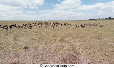wildebeest., migratie, aerial.