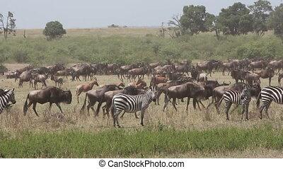wildebeest, migratie