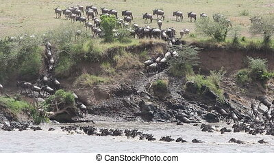 Wildebeest migration 05 - Migratory blue wildebeest...