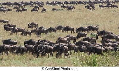 Wildebeest migration - Masai Mara